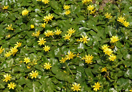 Fig Buttercup, also known as Lesser Celandine (Ficaria verna/Ranunculus ficaria), has recently been added to South Carolina's list of regulated pest plant species