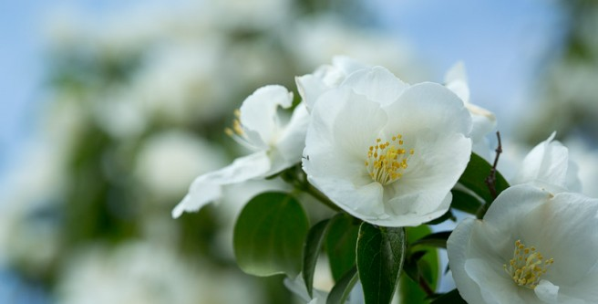 Mock Orange wide shot
