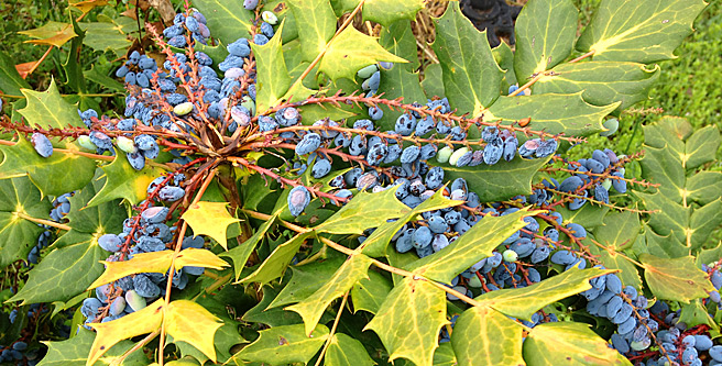 Leatherleaf mahonia with fruit