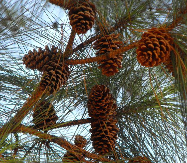 Loblolly branch and cones