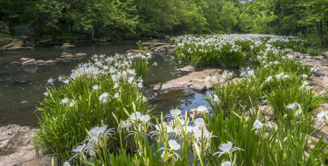 Rocky Shoals Spider Lilly site permanently preserved