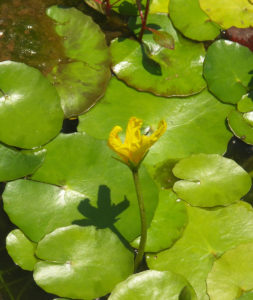 Yellow Floating Heart (Nymphoides peltata) has recently been added to South Carolina's list of regulated pest plant species