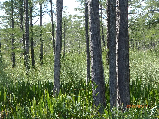 Pond Cypress, iris, with Canby's Dropwort